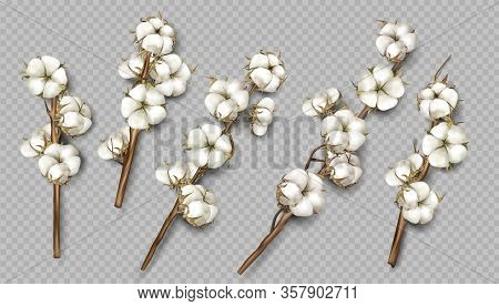 Realistic Cotton Branches With Flowers, Beautiful Stems With White Blossoms Isolated Transparent Bac