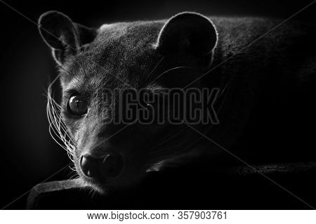Fossa (cryptoprocta Ferox) In Black And White Background.