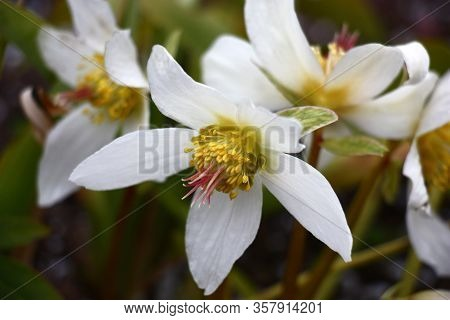 The Morning Spring Sun Lights Fresh Flowers Of A Helleborus Niger With Bright White Petals.