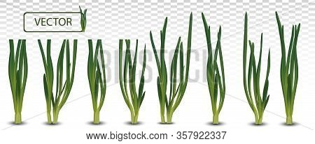 3d Realistic Green Onion Isolated On Transparent Background. Fresh Green Onion Close Up. Collection