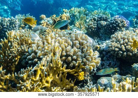Colorful Thalassoma Pavo And Bright Yellow Tropical Fishes In The Coral Reef In The Ocean, Red Sea.
