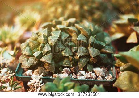 Succulents, Echeveria Kalanchoe Succulent House Plants. Succulents Grown In Greenhouses In The Sun.