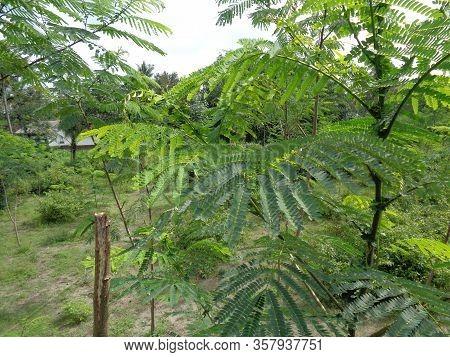 Albizia Chinensis (silk Tree, Chinese Albizia, Kool, Khang Hung, Kang Luang, Cham) With Natural Back