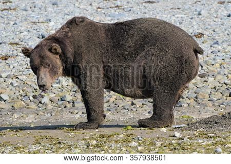 Dangerous Encounter - A Huge Grizzly Bear On The Coast Of Katmai, Alaska