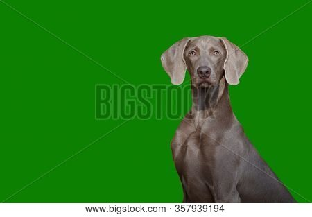 A Beautiful Hunting Dog Of The Weimaraner Or Weimar Point Breed Looks At The Camera Isolate On The G