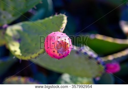 Ripe Fruits Of Opuntia Ficus Indica Or Prickly Pear Close Up