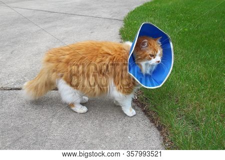 An Orange And White Domestic Longhair Cat (felis Catus) Wearing A Protective Or Elizabethan Collar