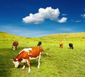 Beautiful view with grazing cows and blue sky poster