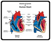 Diastole & Systole (Filling & Pumping) of Human Heart poster