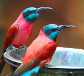 A Northern Carmine Bee-Eater (Merops nubicus). This african bird eating is made up primarily of bees and other flying insects, such as grasshoppers and locusts. poster