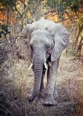 portrait of elephant in luangwa national park zambia poster