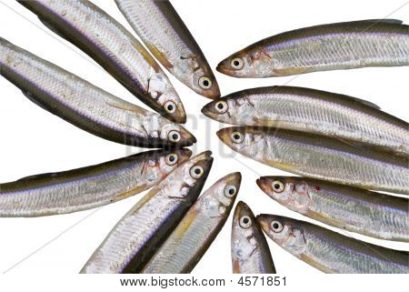 Fish Smelt