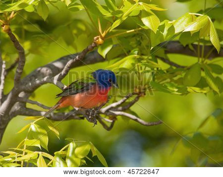 Painted Bunting, Passerina ciris, perched in a Hickory tree with bright green spring foliage