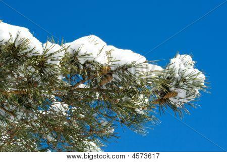Winter Pine Branch
