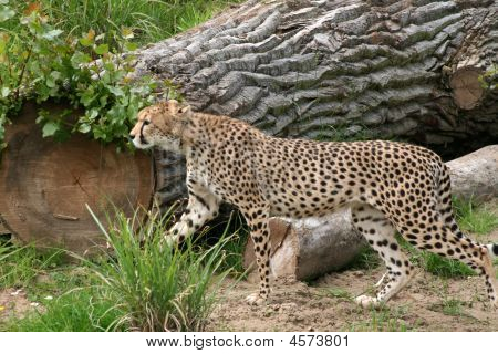 Cheetah Stalking In Grass