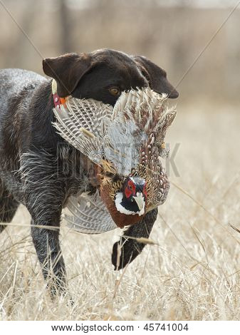 Dog with a pheasant