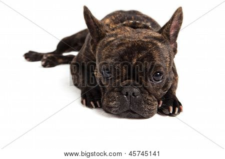 French Bulldog Portrait - Isolated On White