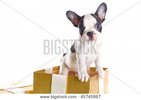 Adorable French bulldog puppy in present box isolated over white poster