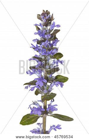 Spike Of Pretty Blue Bugle Herb Flowers