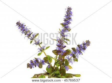 Blue Bugle Herb, Or Ajuga Reptans, Flowers
