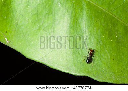 Wild Ant