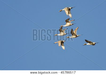 Northern-pintails Flying In Blue Sky