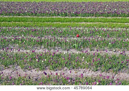 Fritillaria Meleagris, Flowers Of Snake's Head Fritillary (snake's Head) And Tulip