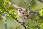 Field Sparrow resting in a bush in spring poster