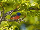 Painted Bunting, Passerina ciris, perched in a Hickory tree with bright green spring foliage poster