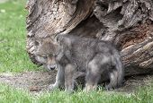 Gray wolf, or timber wolf pup next to fallen log in springtime. poster