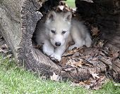 Young arctic wolf pup seeks shelter in a hollowed log. poster
