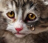 Animal abuse and pet cruelty and neglect with a sad crying kitten cat looking at the viewer with a tear of despair as a concept of the need for humane treatment of living things. poster