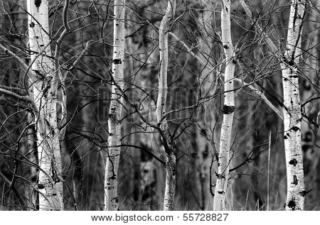 Group of Trees in the Forrest in the Winter with Snow