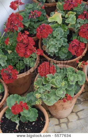 Group Of Red Geraniums