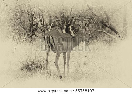 Sepia Toned Picture Of Alert Impala Ewe Looking Backwards
