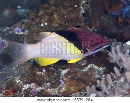 Splitlevel Hogfish