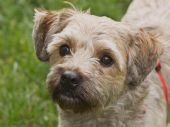 Cairn Terrier Mix Breed Dog standing in front of a grassy background outside poster
