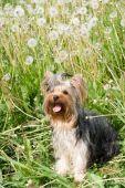 beautiful yorkshire terrier in field amongst dandelion poster