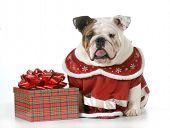 bull humbug - english bulldog making sour expression sitting beside wrapped christmas gift  poster