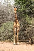 Front View of Strong Bodied Giraffe with bulging muscles standing next to trees poster