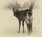 Sepia Toned Picture of an Alert Waterbuck Looking Backwards Listening Carefully to Every Sound poster