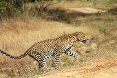 Sri Lankan Leopard (Panthera Pardus Kotiya) Walking Yala Sri Lanka poster