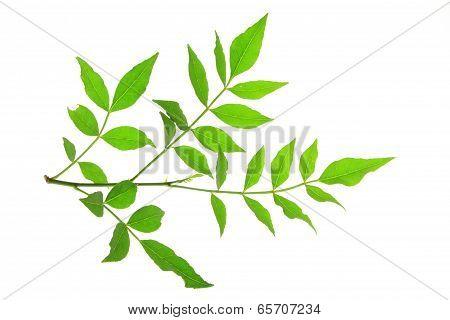 Szechuan Pepper (Zanthoxylum piperitum)