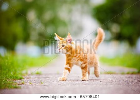 red 3 months old maine coon kitten poster