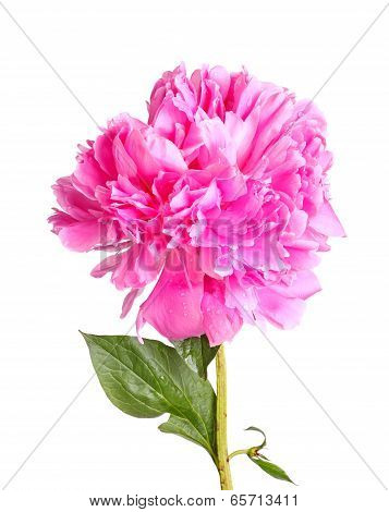 One double flower with water droplets stem and leaf of a pink peony (Paeonia lactiflora) cultivar isolated against a white background poster