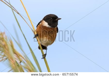 Male African Stonechat In Bright Colours Sitting On Grass Stem Ready To Fly