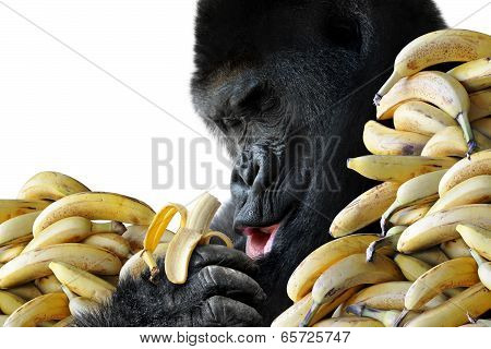 Big hungry gorilla eating a healthy snack of bananas for breakfast, isolated on a white background