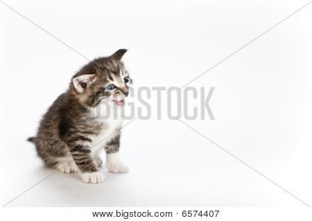 kitten sitting on white background side view poster