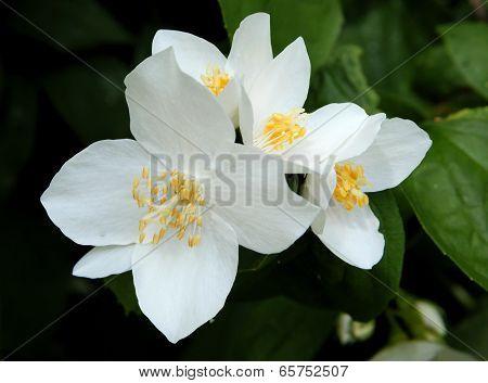 white fragrant flowers of jasmine ornamental shrub
