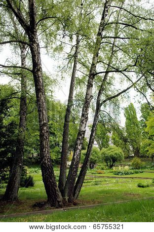 four birch trees in the same place in park